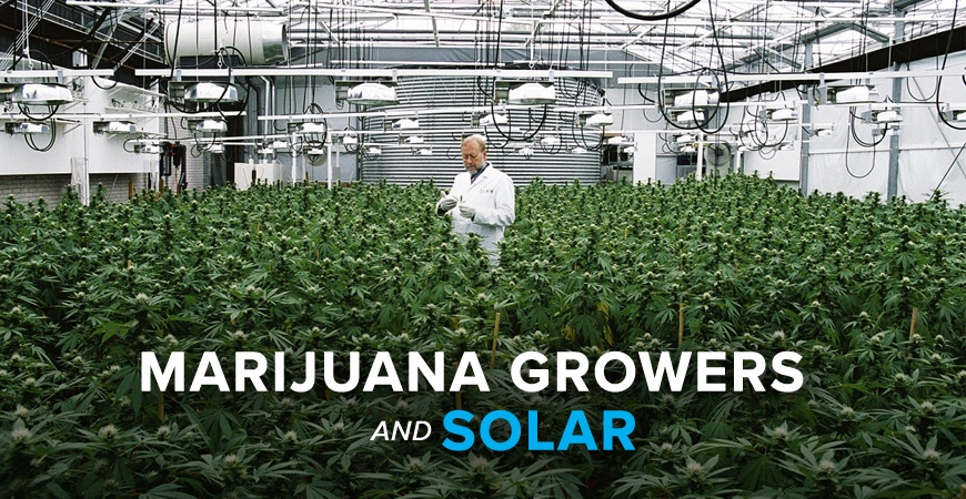 marijuana growers and solar